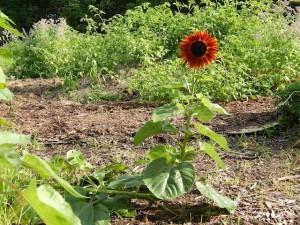 sunflower-detour
