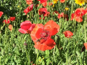 bees-poppies1
