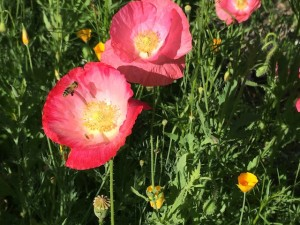 bees-poppies3