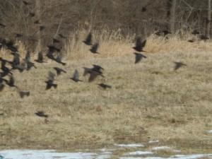 starlings3