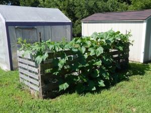 pumpkin-plant